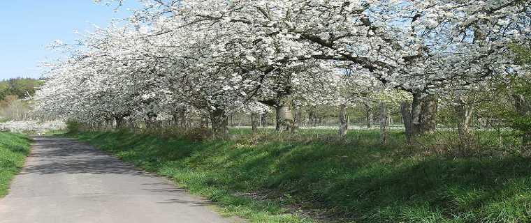 Kirschblüte bei Hain-Gründau