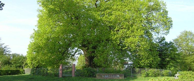 Wartbaum